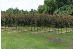 gallery1Acer Rubrum 'HOSR', Red Maple 'Summer Red'
