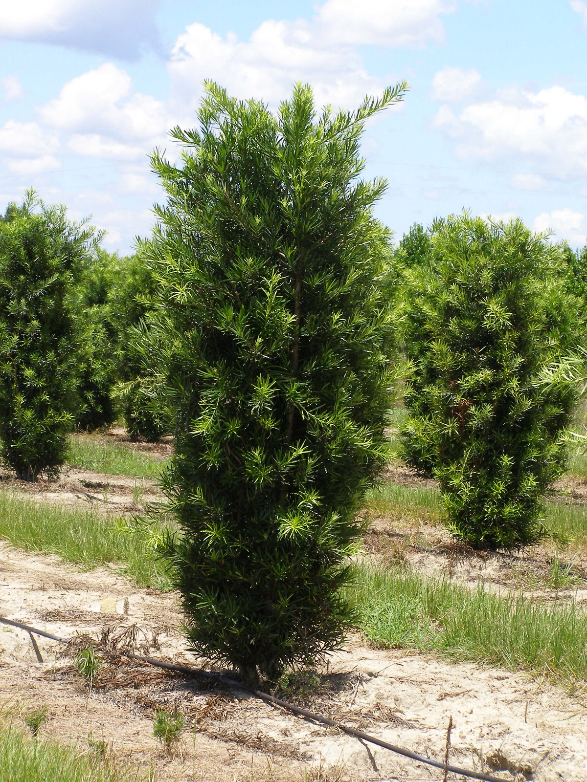 Wagon Hammock Nursery Plant and Tree Availability List Lovely Green Shrub Plants and Trees