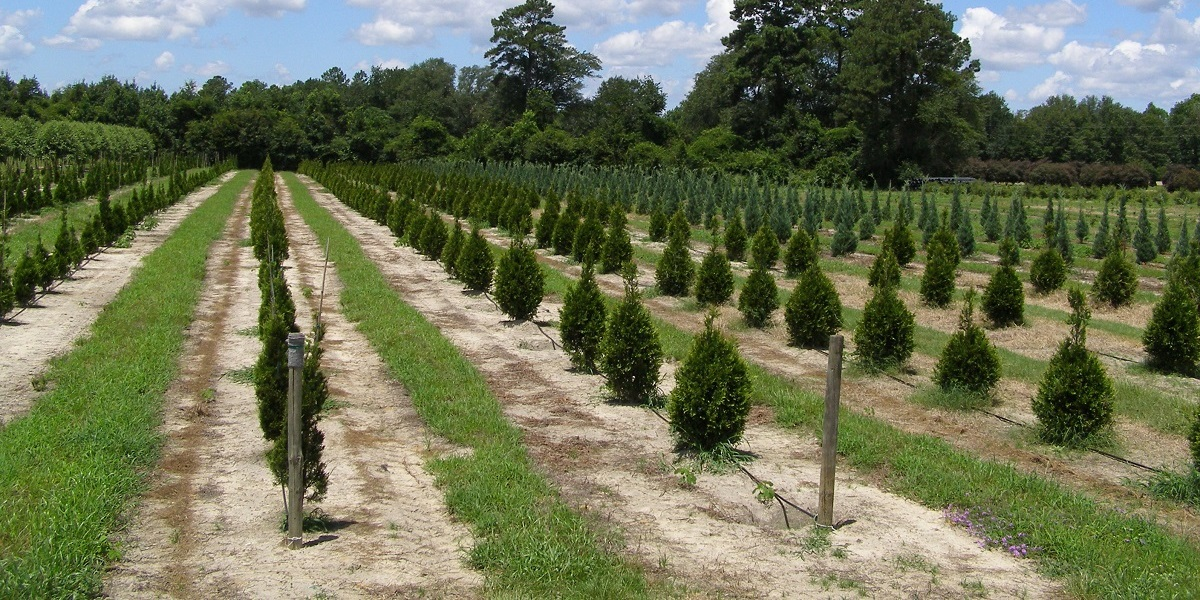 Wagon Hammock Nursery GA Shrubs in lines on property